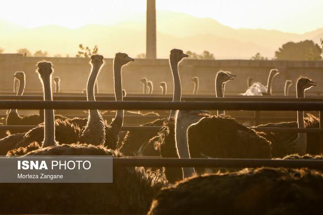 پرورش شترمرغ پرسودترین فعالیت بخش کشاورزی و دامی