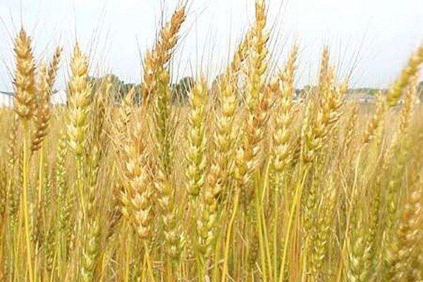 گندم تراریخته 11 درصد عملکرد بالاتری دارد