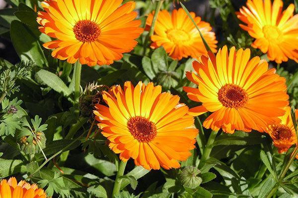 نحوه نگهداری و کاشت همیشه بهار در گلدان