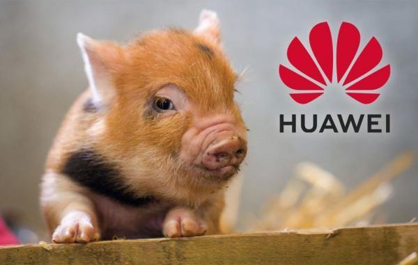هواوی برای جبران کاهش فروش گوشی خوک پرورش می دهد
